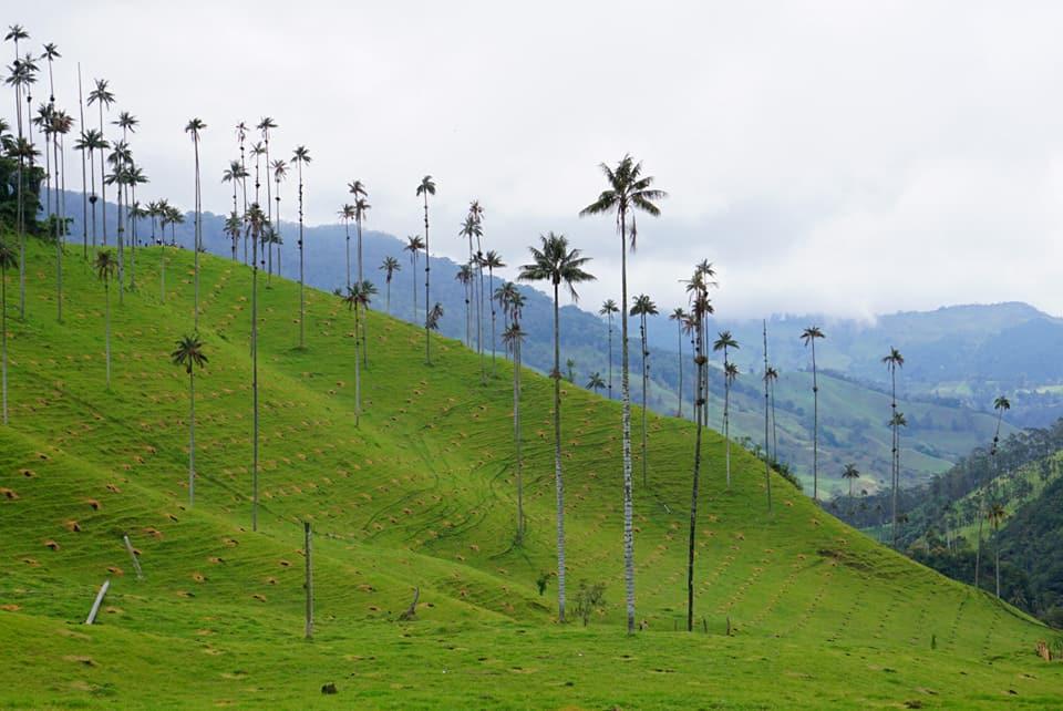 Cocora vadisindeki 60.metrelik palmiyeler